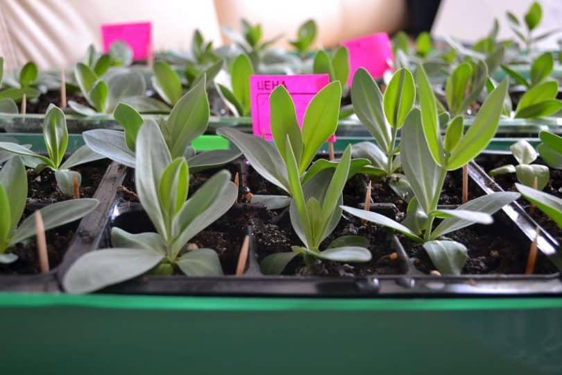 Красавица эустома: выращивание из семян в домашних условиях