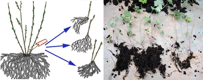 Лаванда: как вырастить рассаду в домашних условиях