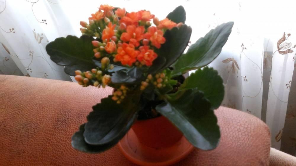 Мини каланхоэ - каландива: уход за растением в домашних условиях, фото