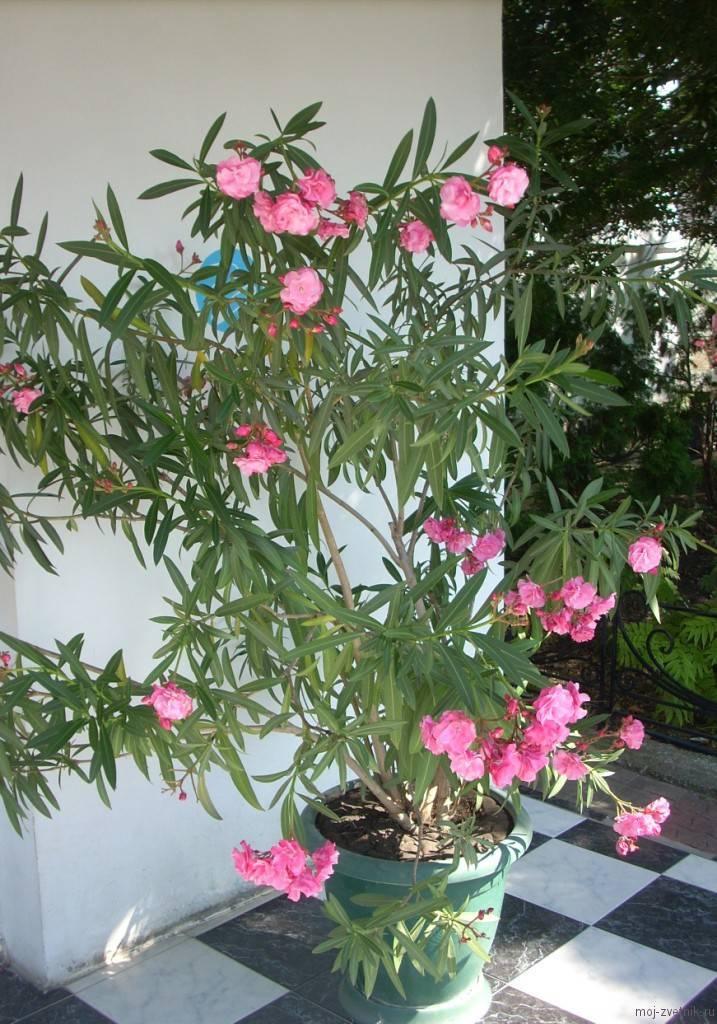 Олеандр — правила ухода за ядовитым цветком