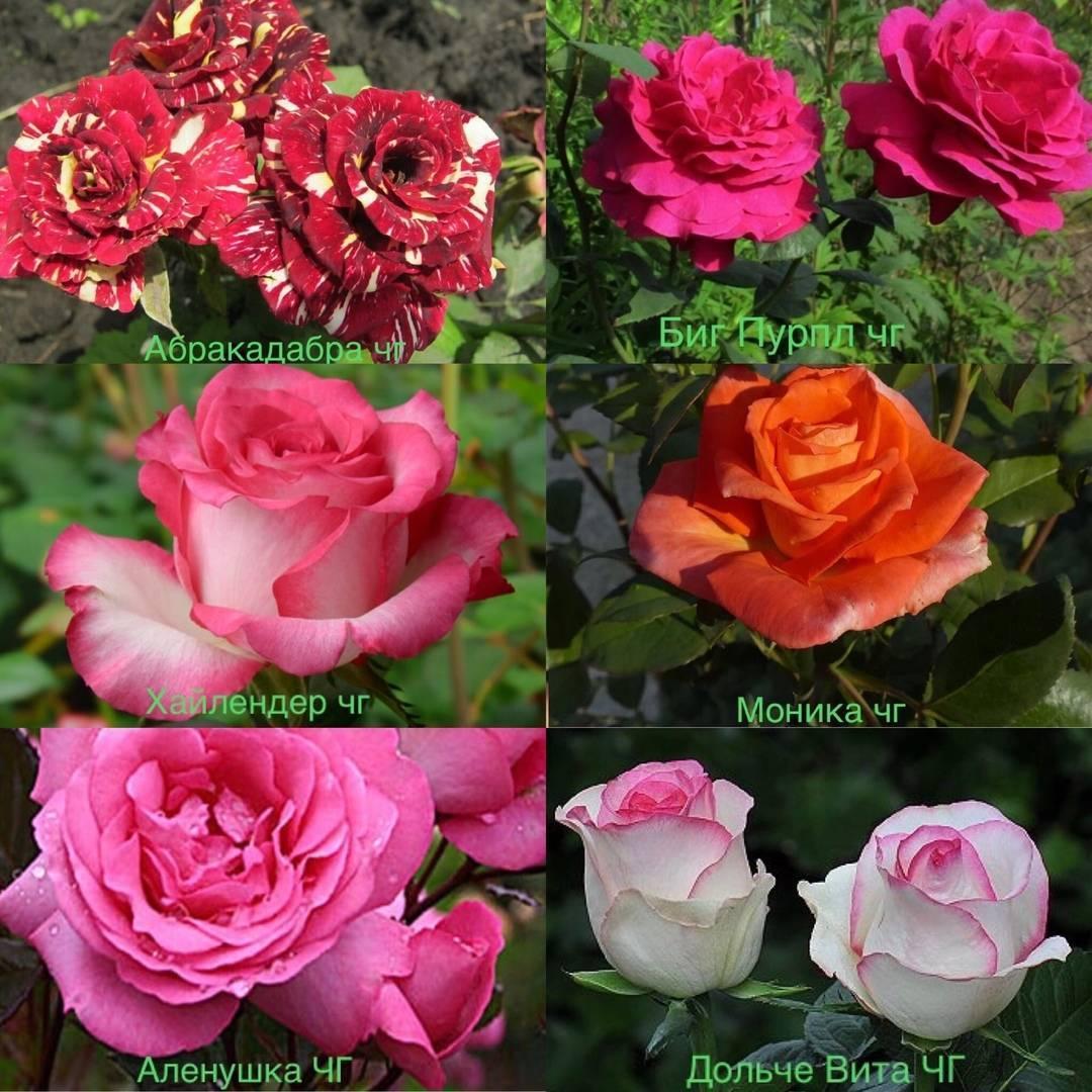 Роза абракадабра: описание, уход, болезни, вредители, размножение