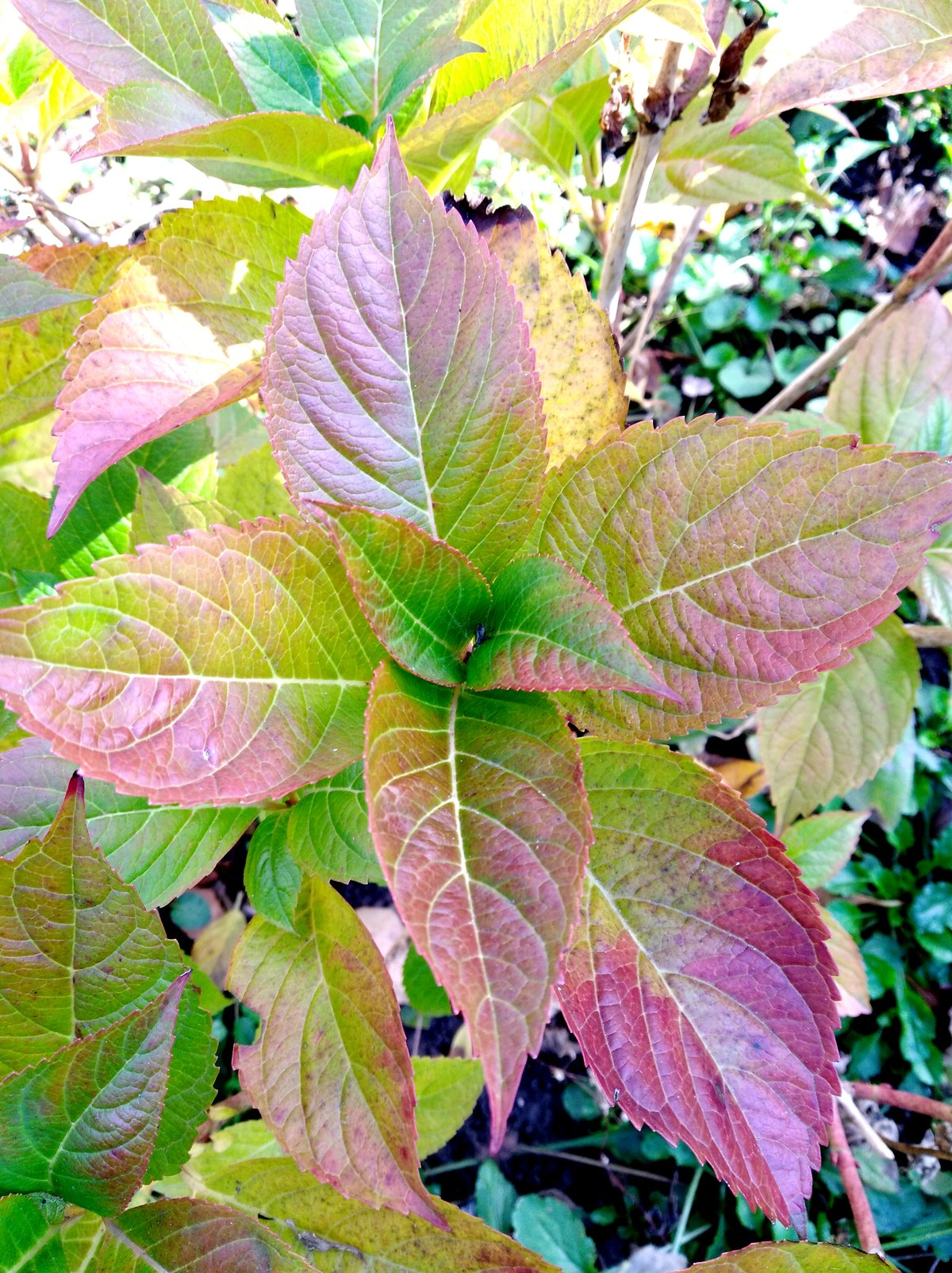 Почему края листьев у садовой или домашней гортензии сохнут, вянут и чернеют