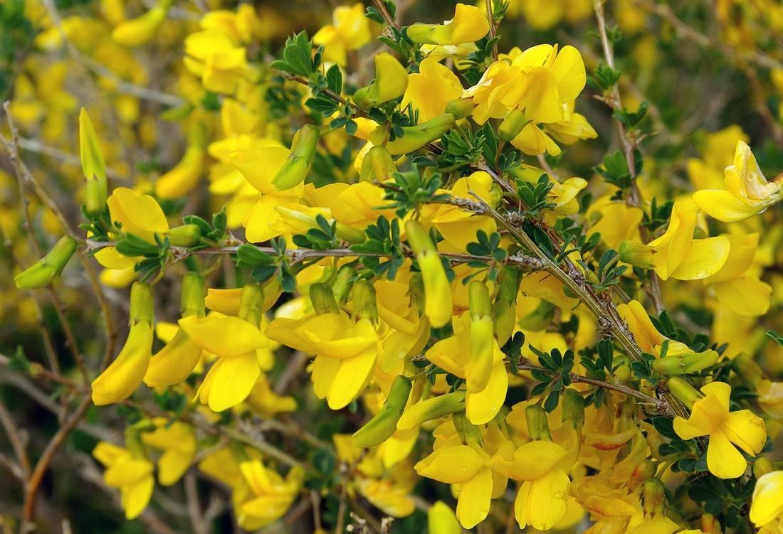 Уникальный медонос с целебными свойствами – жёлтая акация
