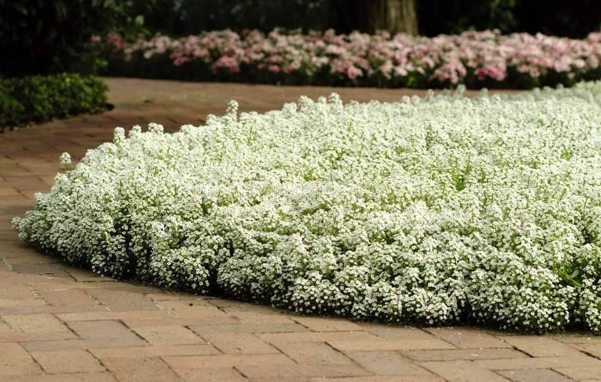 Цветок алиссум многолетний: выращивание, посадка и уход в открытом грунте