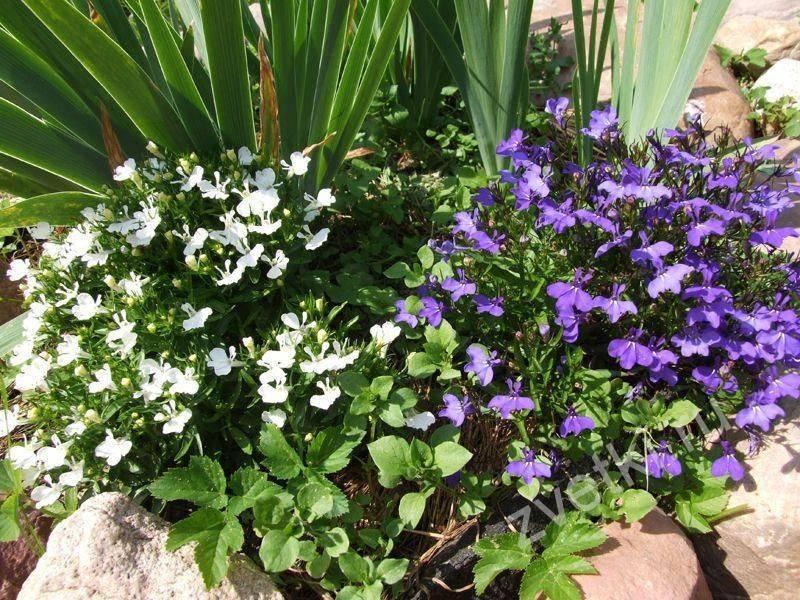 Лобелия: посадка и уход фото, когда сеять семена на рассаду