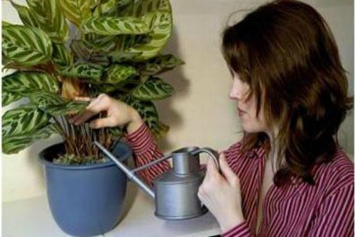 Калатея лансифолия: уход в домашних условиях, болезни и вредители, фото