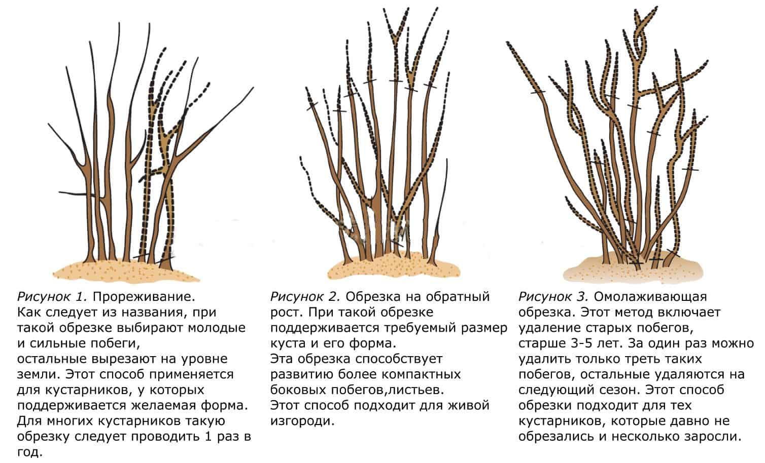 Форзиция: посадка и уход в открытом грунте