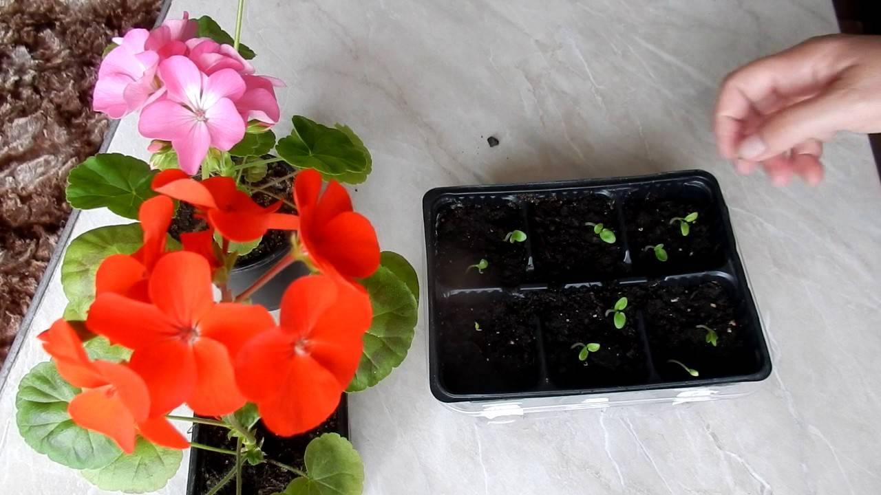 Уход за геранью тюльпановидной в домашних условиях: сорта пеларгонии, семена