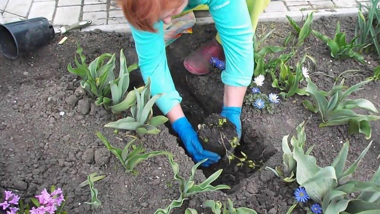 Лиатрис колосковый (33 фото): посадка и уход в открытом грунте. лиатрис колосистая «альба» и kobold, floristan violett и «блу», описание других сортов цветка