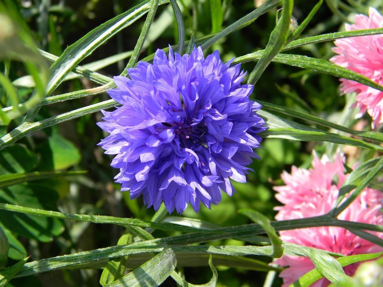 Василек синий (полевой) — сорняк с лечебными свойствами