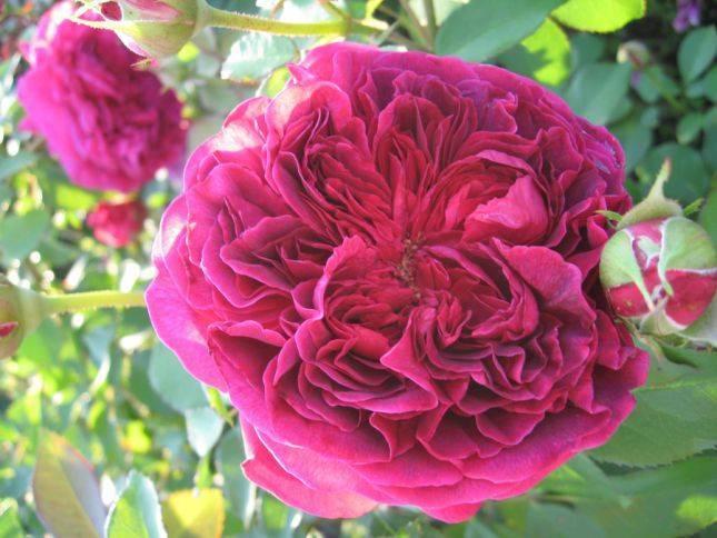Роза вильям шекспир (william shakespeare) — характеристики сортового куста