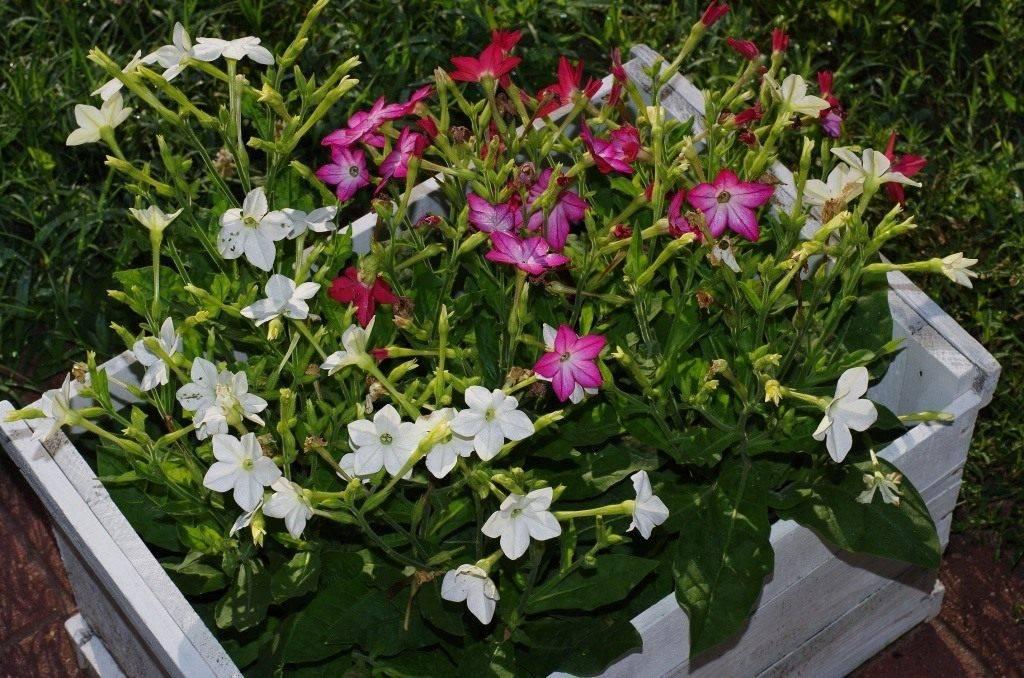 Курительный табак: выращивание из семян, сбор и хранение
