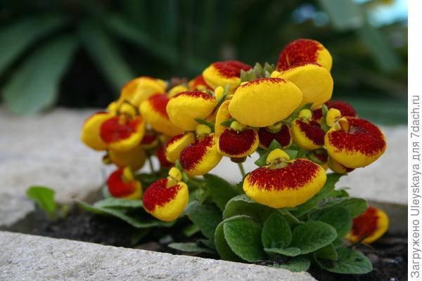 Кальцеолярия: выращивание из семян и уход в домашних условиях