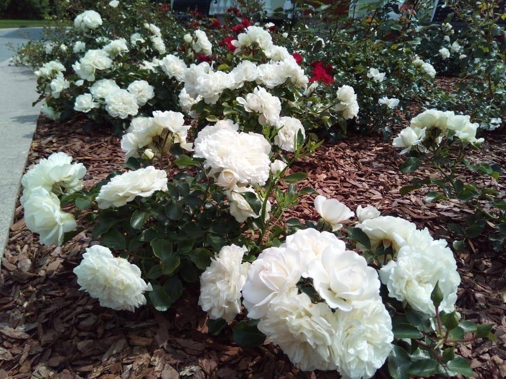 Роза лаваглут (lavaglut) — характеристики культуры