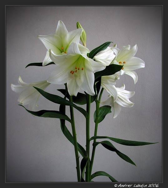Цветы, похожие на лилии (50 фото): маленькие комнатные цветы и большие домашние оранжевые растения, желтые и белые садовые цветы и другие варианты