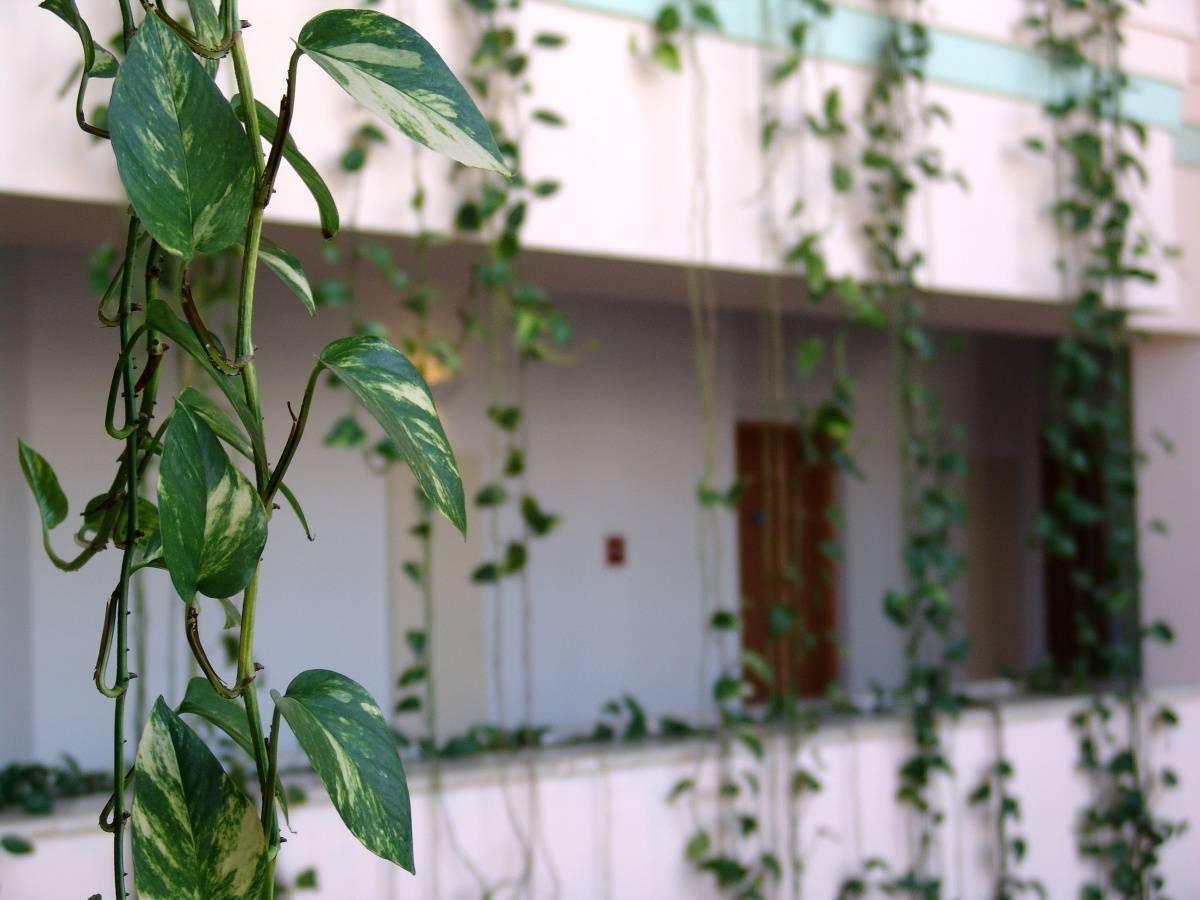 Комнатные лианы с названиями и фото, вьющиеся домашние цветы