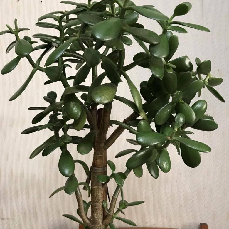 Самое распространённое домашнее растение – толстянка древовидная