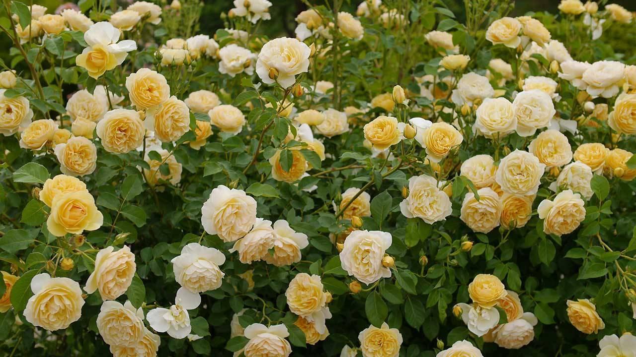 Розы дэвида остина: особенности ухода и выращивания