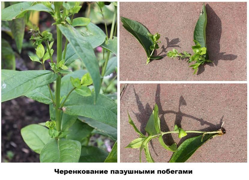 О размножении многолетних флоксов черенками летом (черенкование, укоренение)