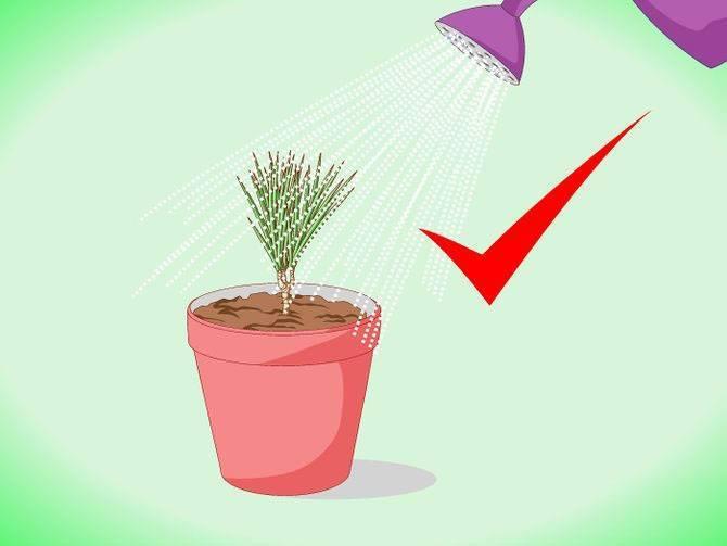 Драцена:  уход и выращивание в домашних условиях – пересадка, размножение, полив, обрезка и подкормка драцены