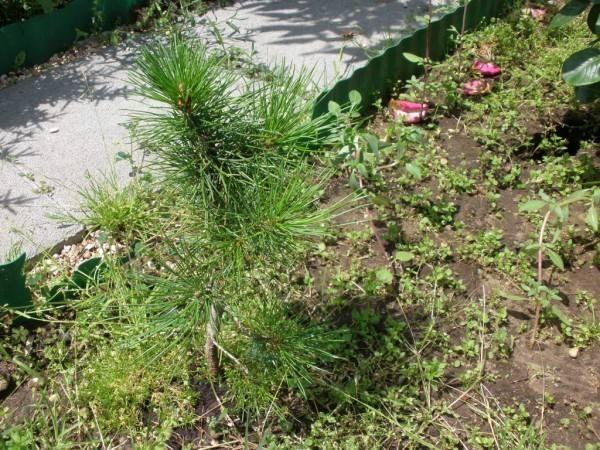 О выращивании кедра сибирского из семян и качестве посадочного материала.