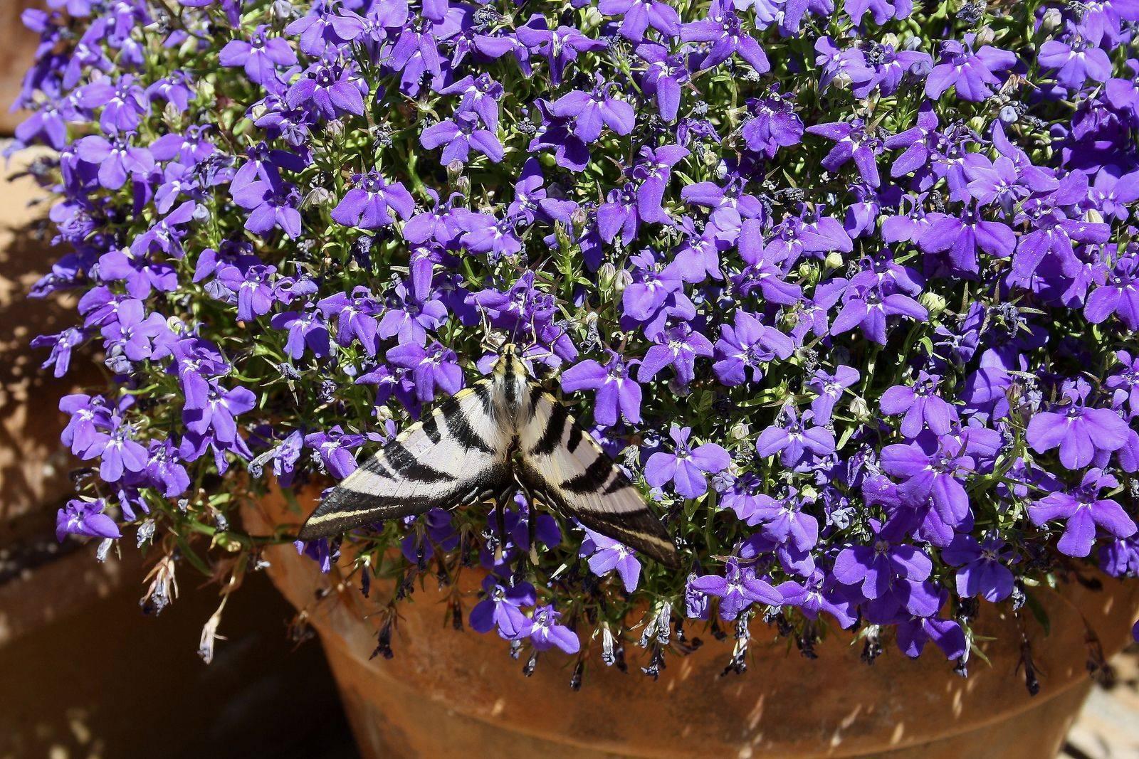 Лобелия многолетняя: сорта, посадка и уход
