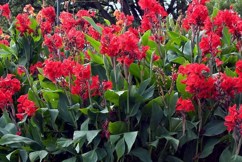 Канна цветок — уход и посадка в открытый грунт