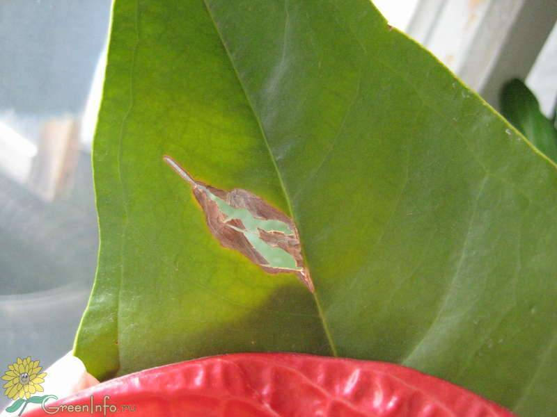 Почему у антуриума желтеют и сохнут листья что делать, как решить проблему. антуриум: особенности ухода, вредители, заболевания и их лечение