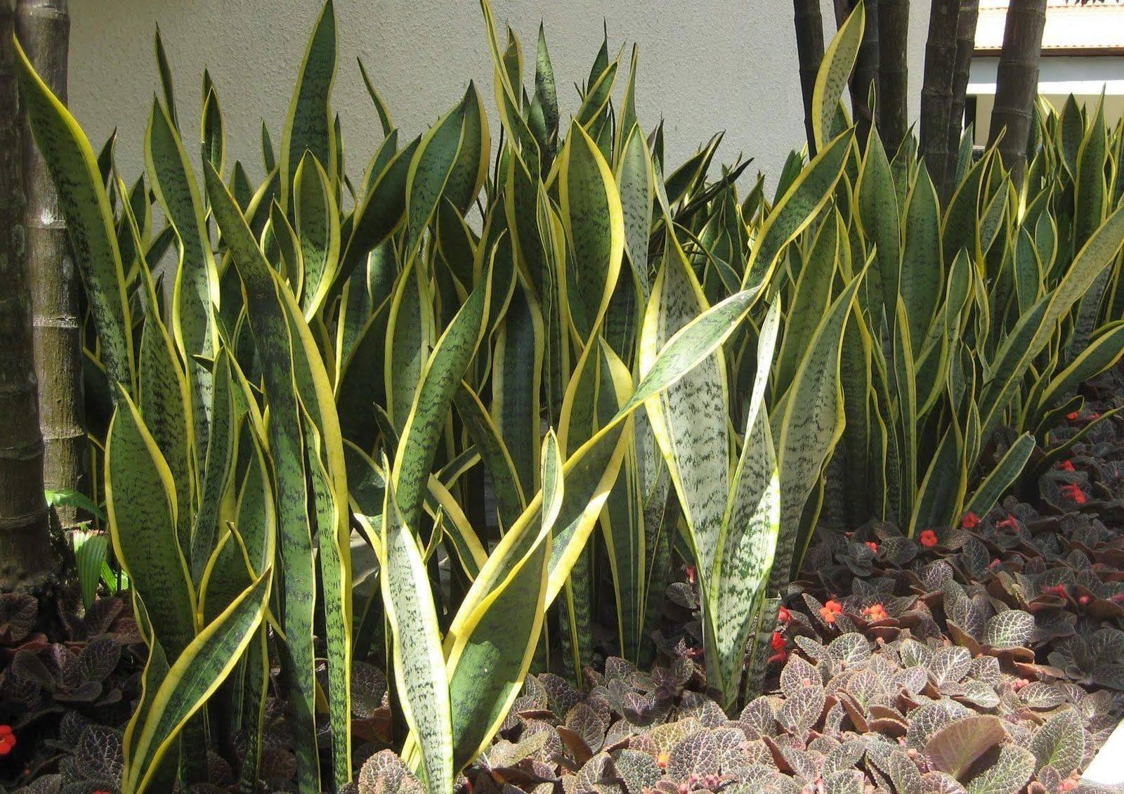 Сансевиерия вельвет тач (sansevieria velvet touch): описание, уход в домашних условиях, болезни и вредители, цветение и размножение