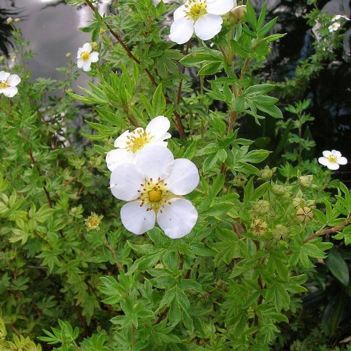 Кустарниковые лапчатки: описание сортов, уход, выращивание, размножение