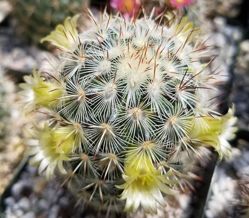 Цветущий кактус маммиллярия: описание видов и уход
