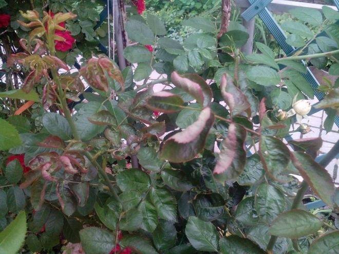 Почему у фуксии вянут и опадают листья: способы реанимации растения