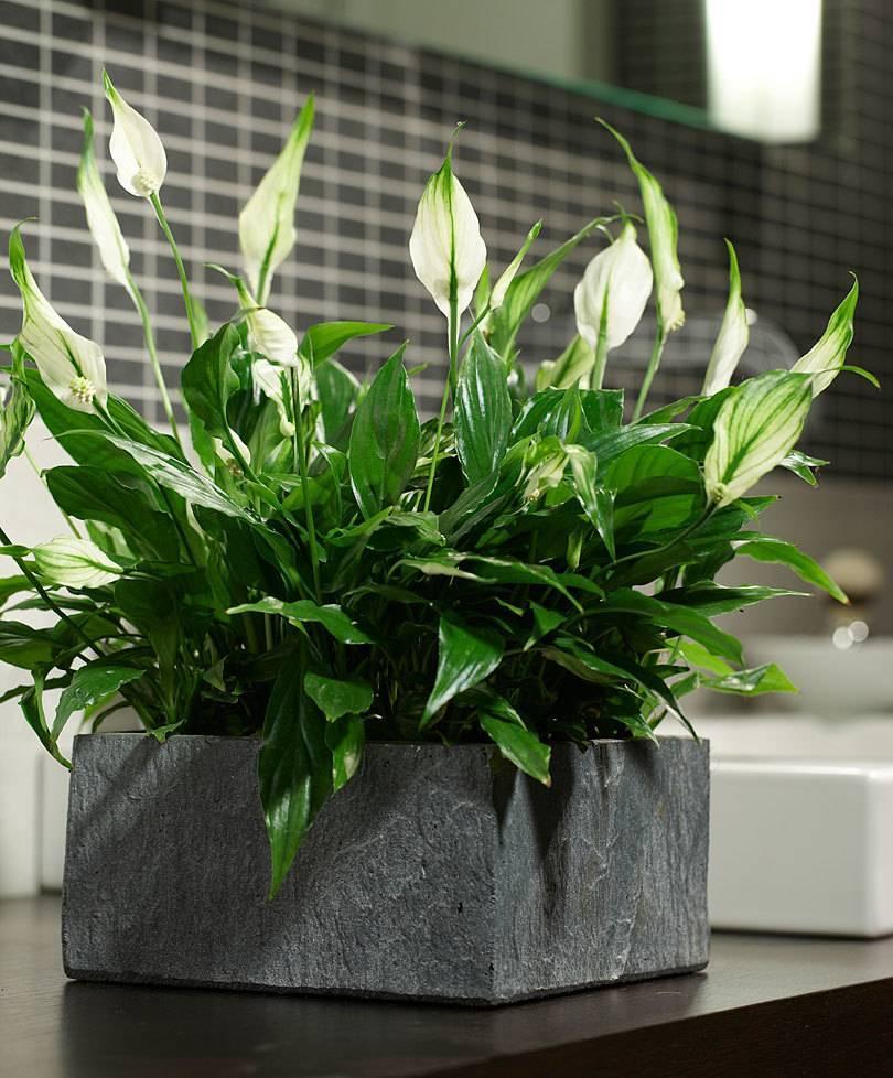 Спатифиллум шопен — описание домашнего цветка