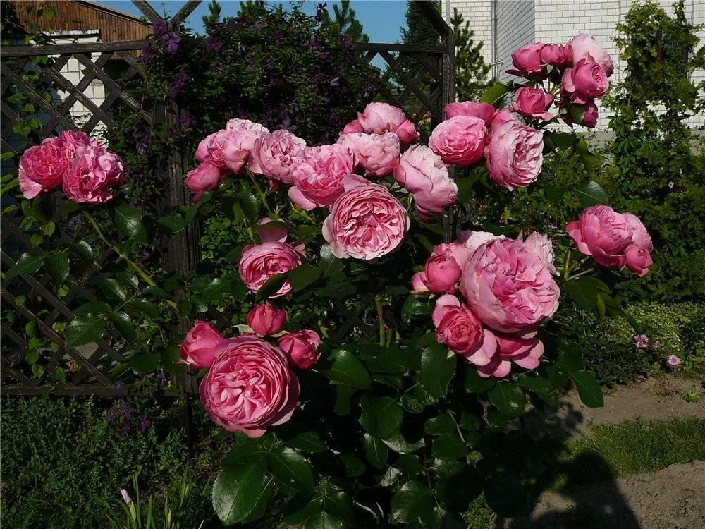 Основные правила по уходу и выращиванию розы флорибунда