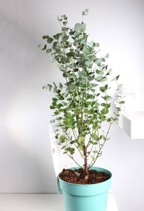 Эвкалипт из семян в домашних условиях