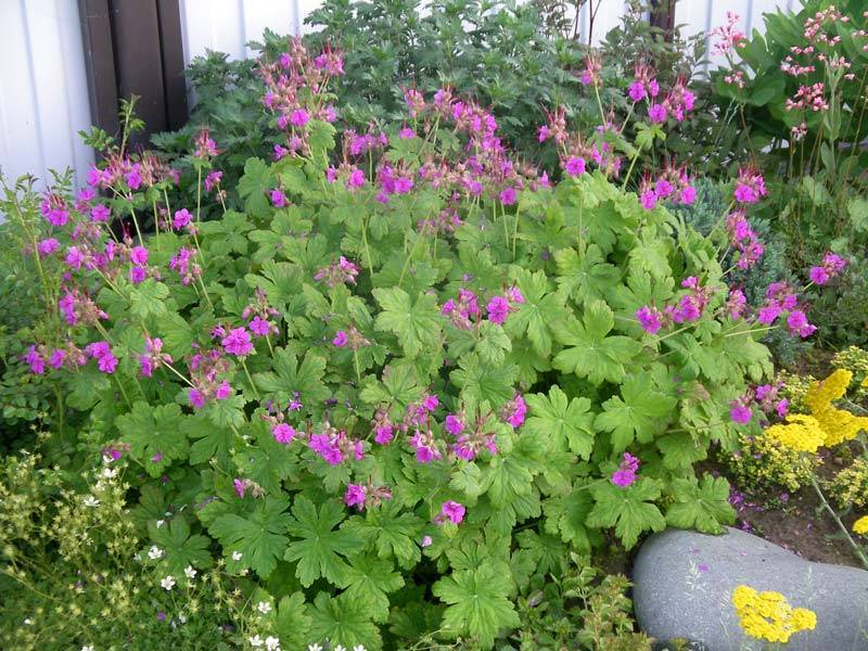 Чем отличается герань от пеларгонии или это разные названия одного растения?