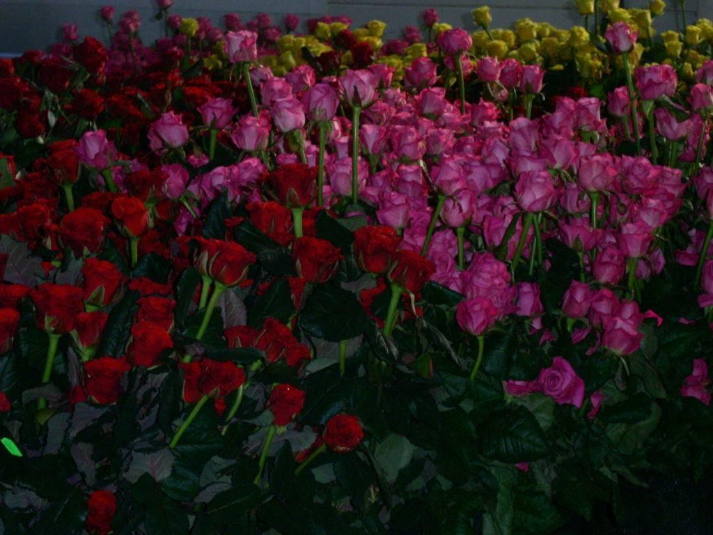 Описание лучших сортов голландских роз: самые высокие и красивые, как растут