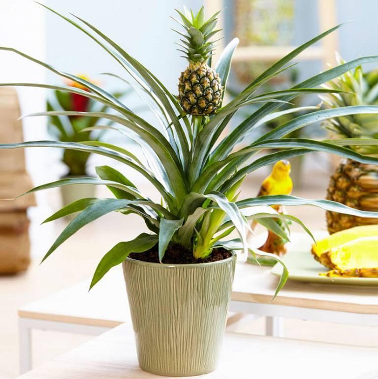 Экзотика на подоконнике: а у нас ананас