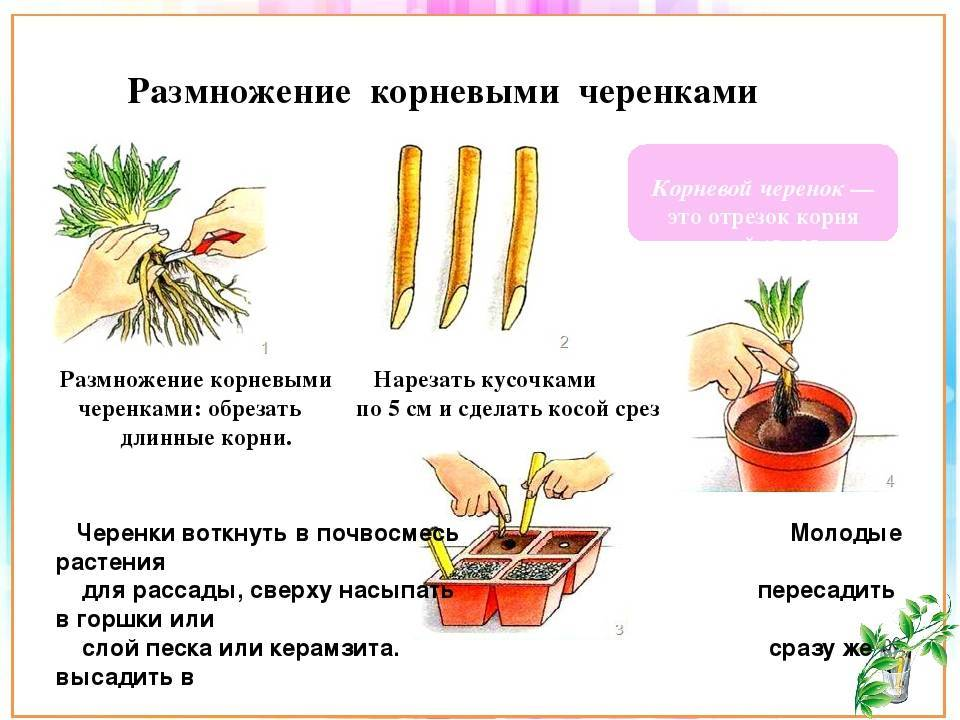 Методы вегетативного размножения комнатных растения