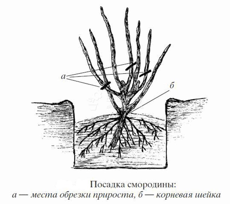 Катарантус в открытом грунте: посадка и уход, фото подходящих сортов, способы размножения, а также что делать, если растение не прижилось?
