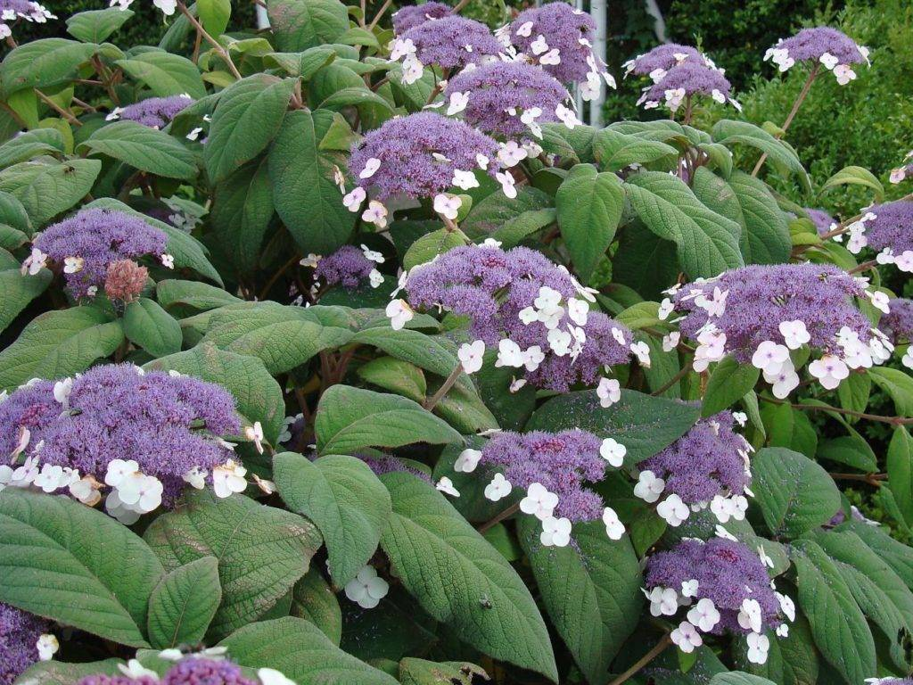 Гортензия макрофила (hydrangea macrophylla) — описание