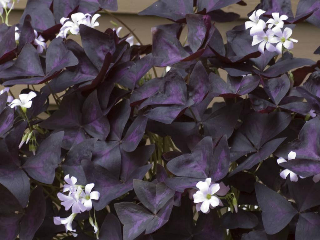 Растения и цветы с фиолетовыми и бордовыми листьями