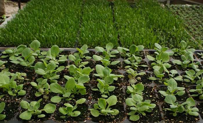 Арабис альпийский (29 фото): описание травянистого растения для открытого грунта, правила выращивания резухи из семян