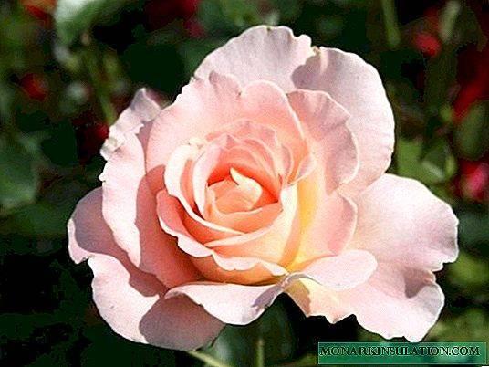 Плетистый сорт розы рококо: выращивание и особенности ухода за шрабом, виды