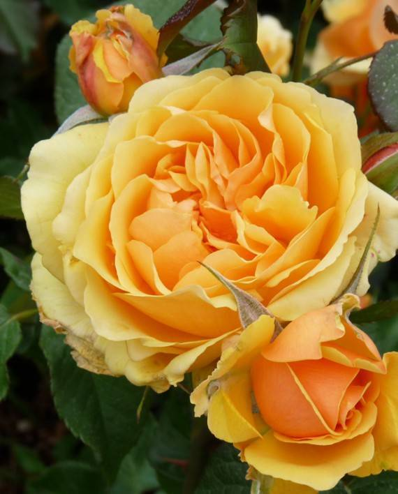 Описание плетистой розы абракадабра: что это за чайно-гибридный сорт флорибунды