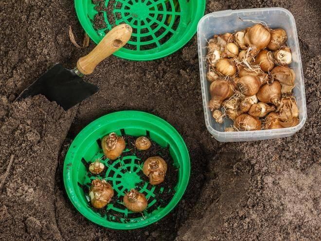 Когда выкапывать луковицы тюльпанов и как хранить