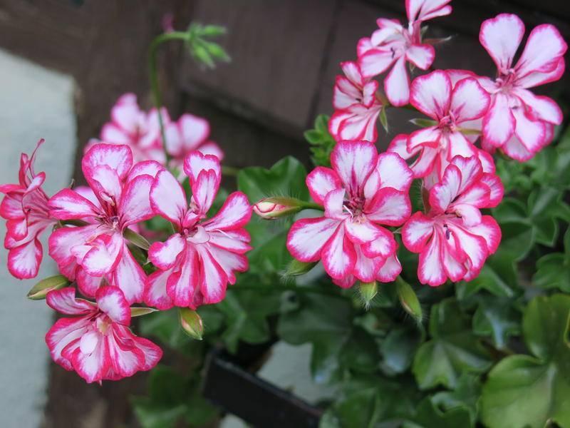 Пеларгония ампельная или плющелистная: описание особенностей сортов цветка и фото, выращивание и уход в домашних условиях, а также размножение черенками и не только