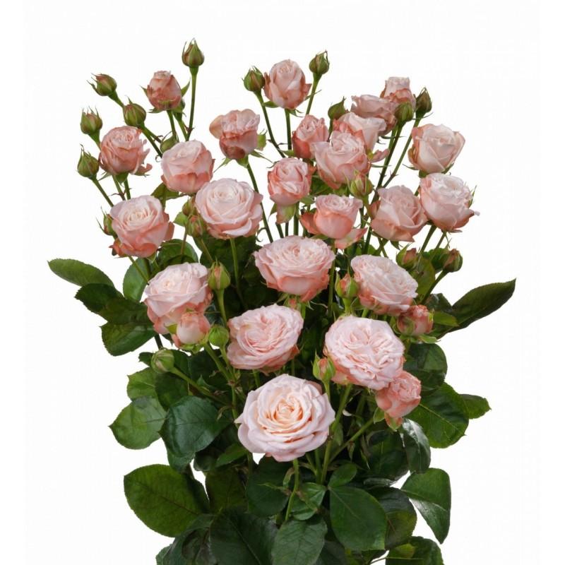 Роза салита (salita) — характеристики и особенности куста