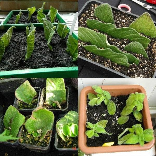 Стрептокарпус из семян в домашних условиях: как правильно осуществить посев семян стрептокарпуса? выращивание и уход в домашних условиях
