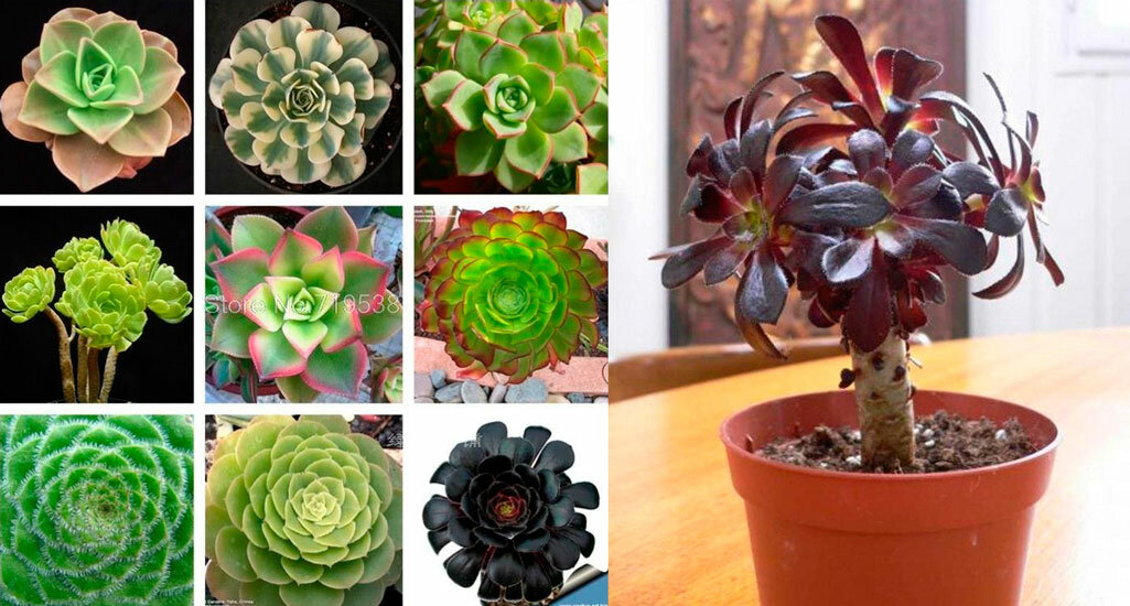 Как правильно выращивать и ухаживать дома за эониумом древовидным?